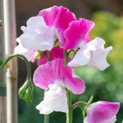 (08/02/2021) Lathyrus odoratus 'Route 66' added by Shoot)