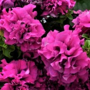 (10/02/2021) Petunia Double Cascade Burgundy and Plum Vein Mix added by Shoot)