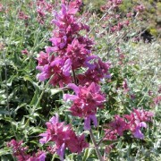 (12/02/2021) Salvia canariensis added by Shoot)