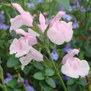 (13/02/2021) Salvia microphylla 'Blind Faith' added by Shoot)