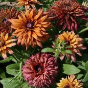 (18/02/2021) Rudbeckia hirta Sahara Mix added by Shoot)