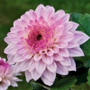 (18/02/2021) Dahlia 'Miracle Princess' added by Shoot)