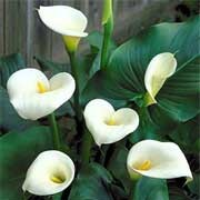 'Crowborough' has rich green, arrow-shaped leaves and funnel-shaped white spathes with prominent yellow spadix. Zantedeschia aethiopica 'Crowborough' added by Shoot)
