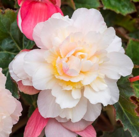 Begonia 'Sweet Spice Appleblossom' (Sweet Spice Series)