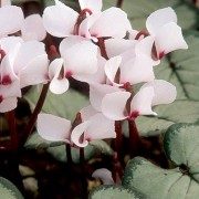 (02/03/2021) Cyclamen coum subsp. coum f. coum (Pewter Group) 'Maurice Dryden' added by Shoot)