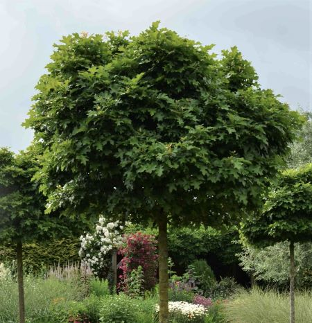 Quercus palustris 'Green Dwarf'