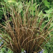 (11/04/2021) Carex flagellifera 'Auruga' added by Shoot)