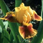 'Fierce Fire' is an herbaceous perennial with an erect habit.  Its sword-shaped foliage is grey-green.  In spring and summer it bears bright yellow, lemon-yellow and orange flowers with reddish-brown streaks on the petals.  Iris 'Fierce Fire' added by Shoot)