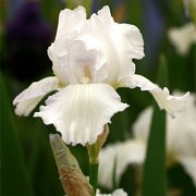 'Ice Dancer' is an herbaceous perennial with a tall, erect habit.  Its sword-shaped leaves are glaucous.  In spring and summer it bears large pale-blue and pale-yellow/orange flowers. Iris 'Ice Dancer' added by Shoot)