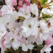 (25/02/2019) Prunus 'Amanogawa' added by Shoot)