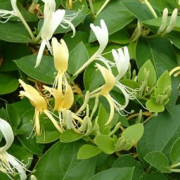Lonicera japonica 'Halls Prolific' (28/09/2017) Lonicera japonica 'Halls Prolific' added by Shoot)