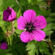 'Anne Thompson' is a low-spreading perennial with gold-tinted foliage and a profusion of dark magenta flowers with a black centre. Geranium 'Anne Thompson' added by Shoot)