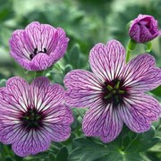 'Ballerina' is a low-spreading perennial with deeply lobed, grey-green leaves and deep-pink summer flowers with dark-maroon veins and centres. Geranium cinereum 'Ballerina' added by Shoot)