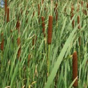 Typha angustifolia added by Shoot)