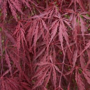 'Tamukeyama' is a vigorous, mound-forming shrub with cascading shoots bearing bold, coarsely dissected, red-purple foliage turning brighter in autumn. 'Tamukeyama' is able to hold its burgundy color through hot, humid summers, and resist scorching better than most other red laceleaf cultivars.  Acer palmatum var. dissectum 'Tamukeyama' added by Shoot)