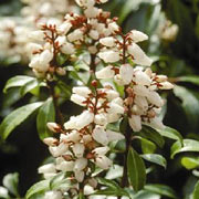 Pieris japonica 'Bonfire'