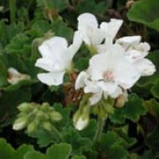 'Tango White' is an annual zonal pelargonium with rounded leaves, and large clusters of single white flowers. Pelargonium x hortorum 'Tango White' added by Shoot)