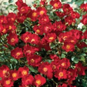 'Suffolk' is a procumbent, ground-cover rose with light green foliage and scarlet, single blooms in summer and autumn. Rosa 'Suffolk' added by Shoot)