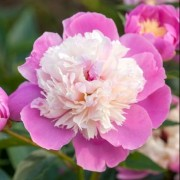 (21/07/2018) Paeonia lactiflora 'Bowl of Beauty' added by Shoot)
