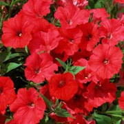 'Surfinia Red Hot' is a trailing or spreading annual with velvety, dark-red ruffled flowers through summer. Petunia 'Surfinia Red Hot' added by Shoot)