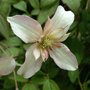 'Marjorie' is a vigorous and unusual climber with dark-green divided leaves, tinged purple when young, and masses of double, creamy pink flowers in late spring. Clematis montana 'Marjorie'  added by Shoot)