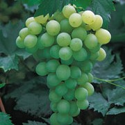 'Golden Champion' is a fairly vigorous deciduous vine, producing edible, golden grapes in autumn. Vitis vinifera 'Golden Champion' added by Shoot)
