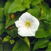 Calystegia silvatica added by Shoot)