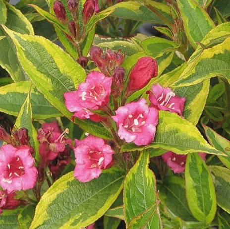 Weigela florida 'Moulin Rouge'