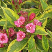 (26/04/2019) Weigela florida 'Moulin Rouge' added by Shoot)