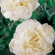 'Boule de Neige' is a Bourbon rose with an arching habit.  It has dark green, glossy leaves and in summer and autumn, bears strongly fragrant, cupped, double, white flowers that may be flushed with pink. Rosa 'Boule de Neige' added by Shoot)