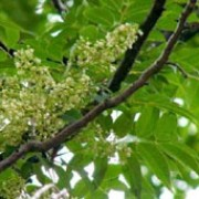 Toona sinensis  added by Shoot)