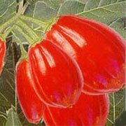 'Red Egg' is a shrubby, prickly perennial with flowers followed by unusual red, round fruit. Solanum melongena 'Red Egg' added by Shoot)