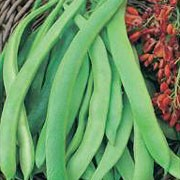 'Enorma' is a perennial climber (often treated as an annual) with red flowers and long, green, stick runner beans. Apart from its good flavour, 'Enorma' is an ideal variety to grow for exhibitions. Phaseolus coccineus 'Enorma' added by Shoot)