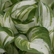 'Reversed' is an herbaceous perennial grown for its attractive foliage.  Its has large, puckered, heart-shaped leaves that have heavy, parallel veins and are pale-cream with blue-green, irregular margins.  In summer, it bears spikes of lavender, bell-shaped flowers on upright stems. Hosta 'Reversed' added by Shoot)