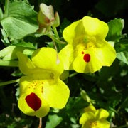 Mimulus luteus  added by Shoot)