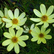 'Moonbeam' is an herbaceous perennial with a mound of dark-green, divided foliage.  From mid-summer to early autumn, it is covered with large, cheery, pale-yellow, daisy-like flowers which are loved by bees. Coreopsis verticillata 'Moonbeam' added by Shoot)