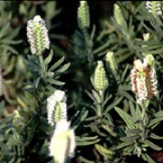 'Snowman' is a dwarf, evergreen shrub with narrow, grey-green foliage.  It is a compact cultivar, bearing spikes of with plump, white, fragrant flowers in summer. Lavandula stoechas 'Snowman'  added by Shoot)