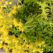 'Gold Mound' is a mat-forming, evergreen perennial with succulent, bright, golden-green leaves.  In spring and summer, it bears yellow flowers. Sedum 'Gold Mound' added by Shoot)