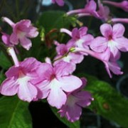 'Lisa' is a tender perennial for indoor use.  It has dark-green, heavily-veined, oblong leaves formed at the base.  It bears sprays of pale-pink, tubular flowers with white throats on wiry stems. Streptocarpus 'Lisa' added by Shoot)