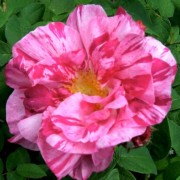 (03/06/2020) Rosa gallica 'Versicolor' added by Shoot)