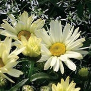 'Broadway Lights' is an herbaceous perennial with dark green, glossy leaves and canary yellow, daisy-like flowers which then fade to white in summer and autumn. Leucanthemum x superbum 'Broadway Lights' added by Shoot)
