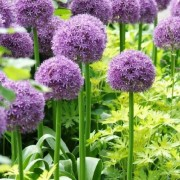 (05/04/2018) Allium 'Gladiator' added by Shoot)