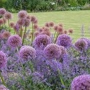 Allium 'Globemaster' (13/11/2014)  added by Shoot)