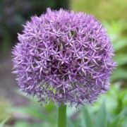 (02/12/2020) Allium 'Globemaster' added by Shoot)