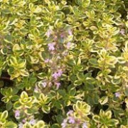 'Golden King' is a low-growing, evergreen shrub with yellow and green, aromatic, variegated foliage.  In summer, it bears lavender-pink, tubular flowers. Thymus x citriodorus 'Golden King' added by Shoot)
