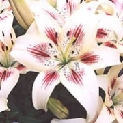 'Moxie' is a bulbous perennial that forms wide-petalled ivory flowers with rose-purple brushmarks in summer. Lilium asiatic 'Moxie' added by Shoot)