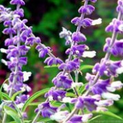 Salvia leucantha added by Shoot)
