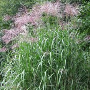 (07/05/2019) Miscanthus x giganteus added by Shoot)
