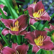 'Little Missy' is a compact, clump-forming perennial with strap-shaped leaves.  In summer, it bears large, purple-pink, funnel-shaped flowers with pale margins to their petals and yellow throats. Hemerocallis 'Little Missy' added by Shoot)