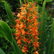 'Tara' is a tender, herbaceous perennial with upright, strap-shaped, glaucous-green leaves.  In late summer and autumn, it bears large, erect racemes of fragrant, orange flowers with long dark-orange stamens. Hedychium coccineum 'Tara' added by Shoot)
